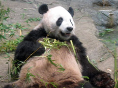panda gigante no ueno zoo
