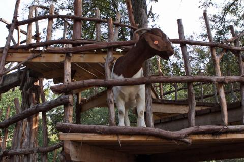 As cabras vão escalando uma passarela de madeira e passam de um lado pro outro da área cercada