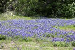 19-bluebonnetspertodeburnet