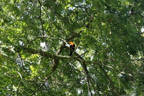 Um tucano láaaa no alto da árvore!