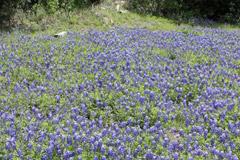 20-bluebonnetspertoburnett