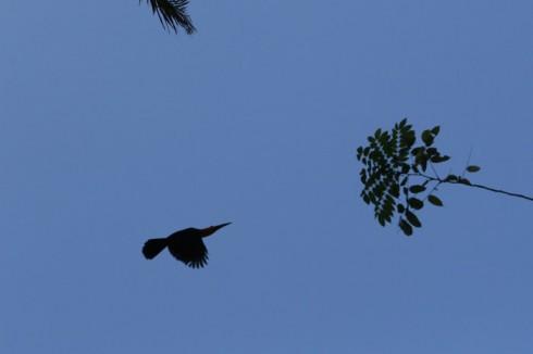 Tucano em pleno vôo no Jardim Botânico do Rio de Janeiro