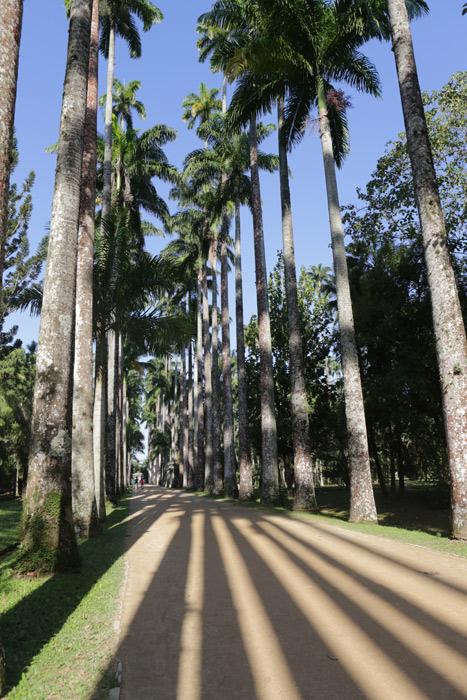 Palmeiras famosas fazendo longas sombras no Jardim Botânico do Rio de Janeiro