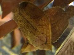 peixe folha aquário de shinagawa tóquio
