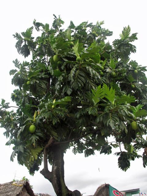 Uma árvore de fruta-pão, que os Kuna comem