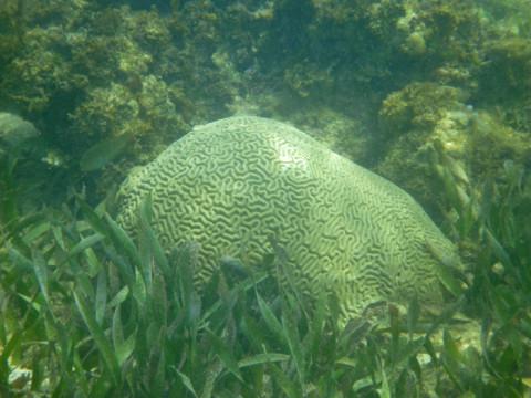 Coral na ilha Arridup em San Blás