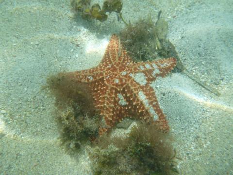 Uma das muitas estrelas do mar que nós vimos em San Blás