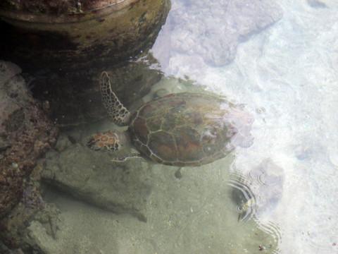 A tartaruga solitária do cercadinho, fiquei com pena, mas disseram que vão soltar quando ela estiver maior...