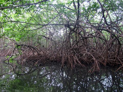 Dentro do manguezal em Kuna Yala