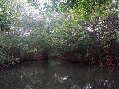 As árvores do mangue são usadas na construção das casas Kuna