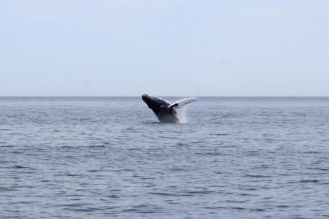 A baleia pulando pela enésima vez