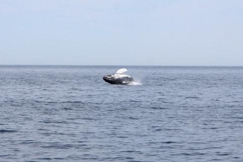 baleiahumpbackcaindo