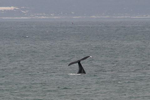 Baleia em Hermanus