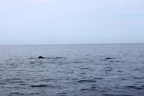 baleiashumpbackboston