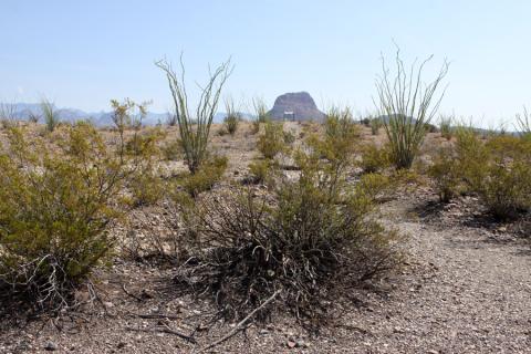 Os Ocatillos são essas plantas espinhosas que parecem algas marinhas do deserto