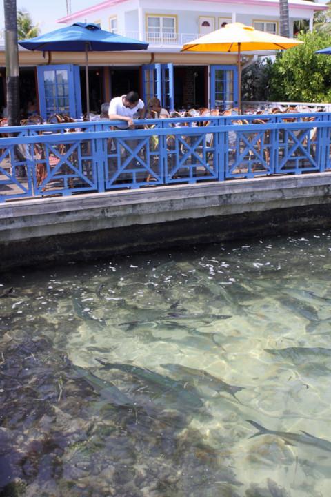 Os peixes nadando em frente ao Calypso Grill
