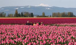 Não vá a Holanda, vá a Seattle: os campos de tulipas de Skagit Valley