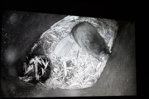 Um castor dentro da sua casinha (foto da câmera que fica transmitindo de dentro da casinha)