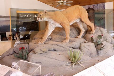 Modelo de um puma em tamanho real no Chisos Visitor Center