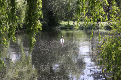 Um cisne solitário em Centre Island