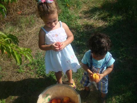 As crianças colhendo pessego na Cox Berry Farm