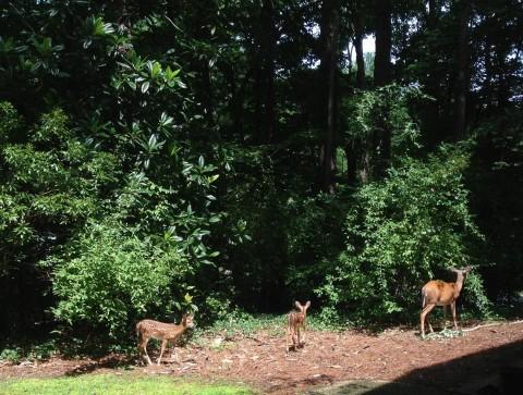 Os cervos são muito comuns na região, estes estavam perto do trabalho