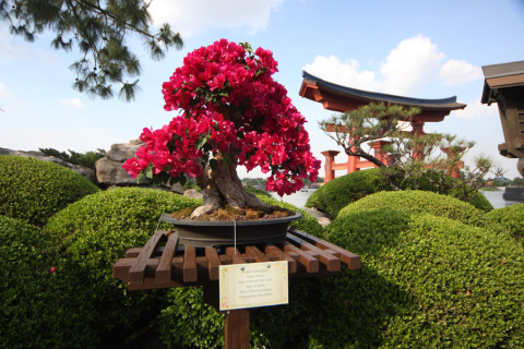 A bonsai mais linda, de bougainvillea