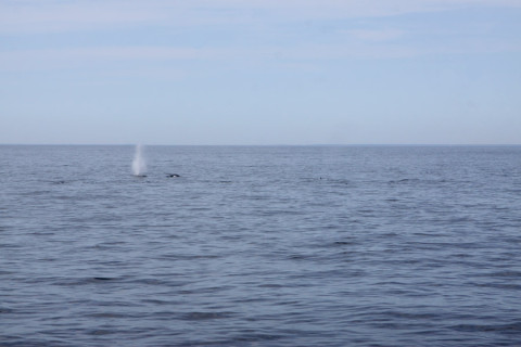 Avistamos os esguichos das baleias primeiro, ao longe