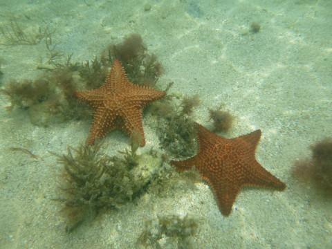 Estrelas do mar em Arridup, San Blás