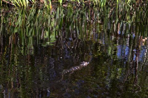 Filhote de jacaré nadando perto do barco
