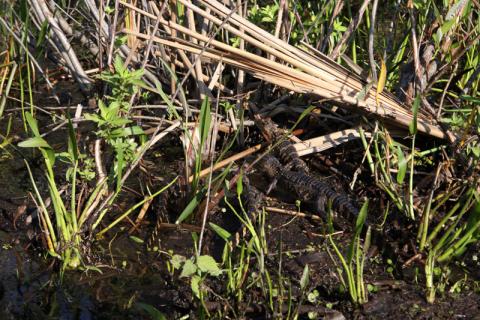 Mais filhotes de jacaré no passeio do Boggy Creek