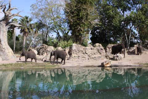 Os elefantes no Kilimanjaro Safaris