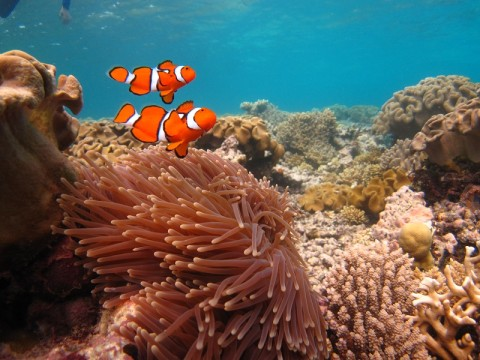 Peixes palhaços na Austrália, foto original: Paul Arps sob licença creative commons