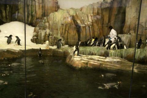 Os pinguins sendo alimentados