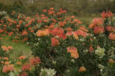 Proteas, flores típicas da África do Sul