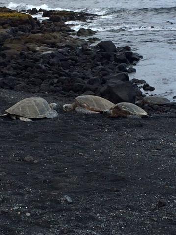 Tartarugas pegando sol em Punalu'u Black Sand Beach