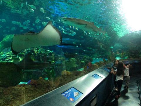 Uma raia Manta e um tubarão entre centenas de peixes no túnel