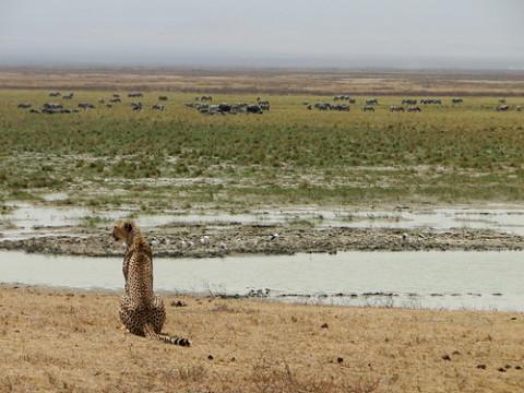Cheetah na Tanzânia, foto Adriana Miller