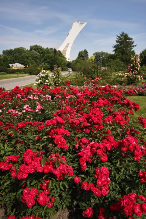 Jardim de rosas com a Torre de Montréal  ao fundo