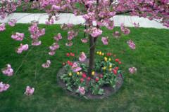 tulipascerejeira