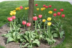 tulipascerejeiraclose