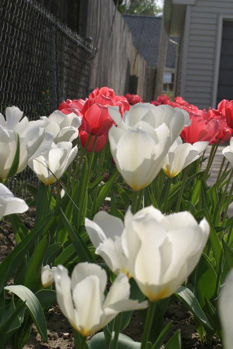 tulipasclose