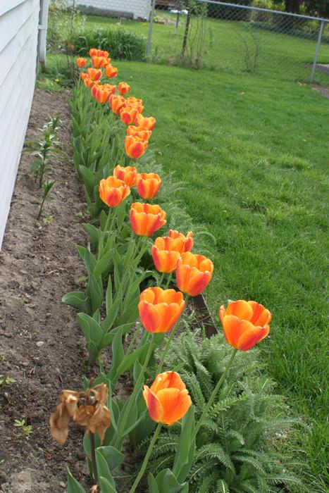 tulipaslaranjas