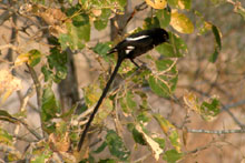 Longtailed Shrike