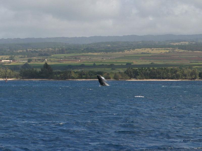 Baleia pulando durante o passeio de barco que fizemos no North Shore