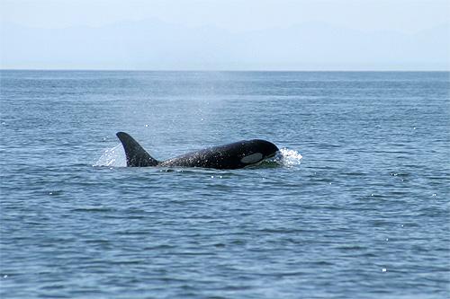 Baleia Orca em Puget Sound, Washington