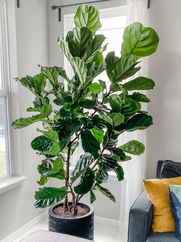 Apanhando da planta mais nervosinha de todas, a Fiddle Leaf Fig