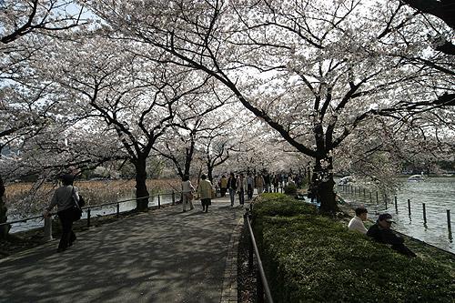 Cerejeiras em flor no Ueno Park em Tóquio