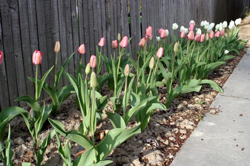 Tulipas no nosso jardim em Michigan