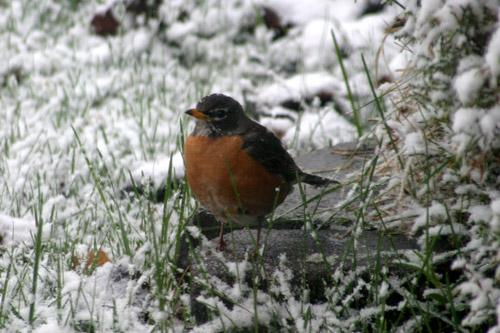 Um Robin sem entender onde foi parar a primavera